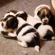 Papillon breedings picture.JPG