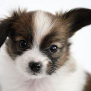 Papillon puppy post picture.JPG