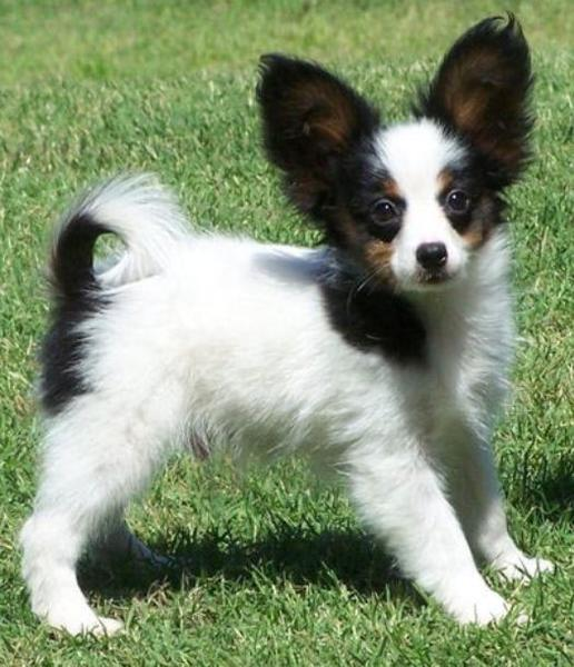 Beautiful small dogs picture of papillon pup with long ears.JPG