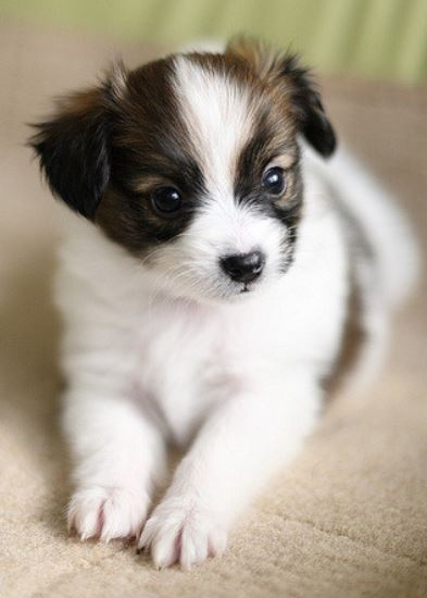 Beautiful puppy picture of Papillon posting for the camera.JPG