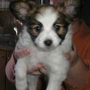Small sixed dog picture papillon pup in white with brown patterns.JPG