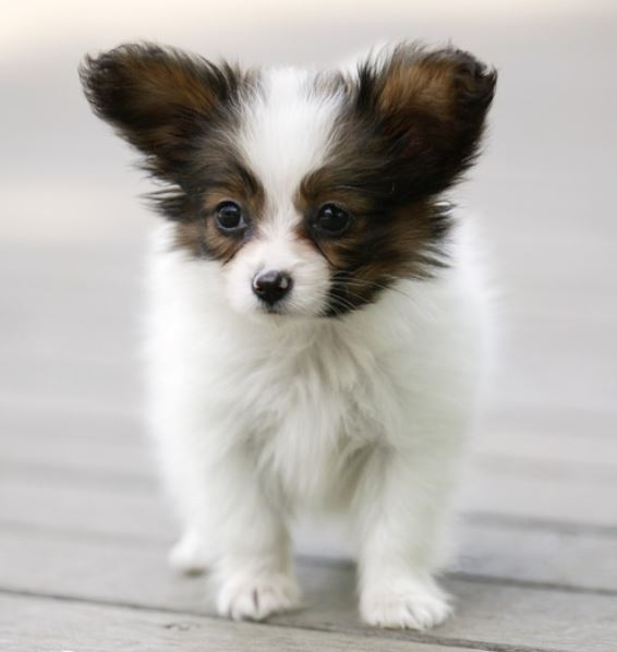 Small dogs picture of papilion puppy with big ears.JPG