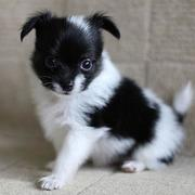 Black and white papillon pup with long ears and fur.JPG