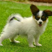 Small dogs pciture of papillon puppy standing on the grass ready to play.JPG