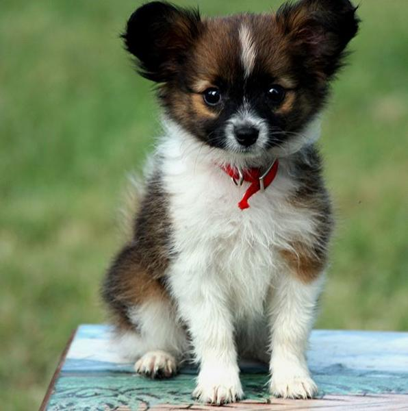 Three toned papillon puppy with long ears.JPG