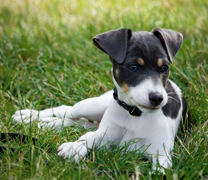 Beautiful dog picture of Rat terrier puppy chilling out on the grass.JPG