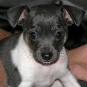 Rat Terrier Puppy Pictures