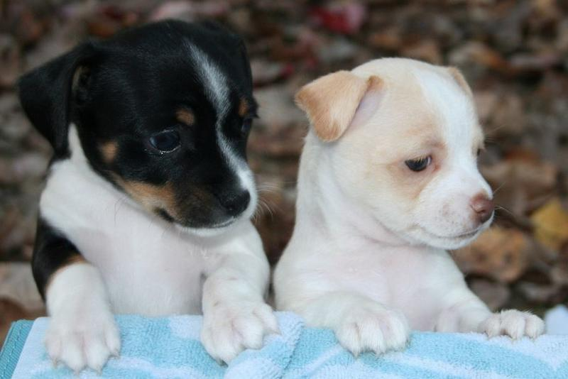 Rat terrier puppies pictures.JPG
