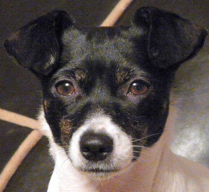 Rat terrier puppy face picture.JPG