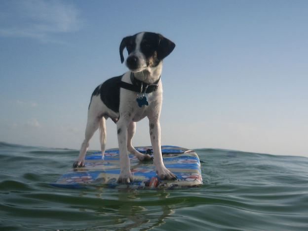 Rat terrier surfing.JPG