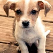 White tan rat terrier pup photo.JPG