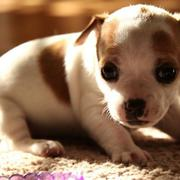 Young rat terrier puppy in white and tan colors.JPG