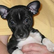 Black white puppy rat terrier picture.JPG