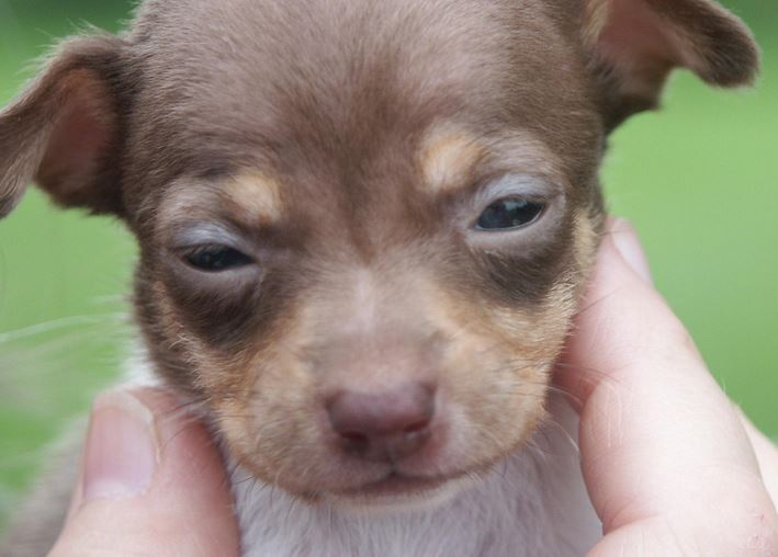 Close up picture of rat terrier puppy in white and tan colors.JPG