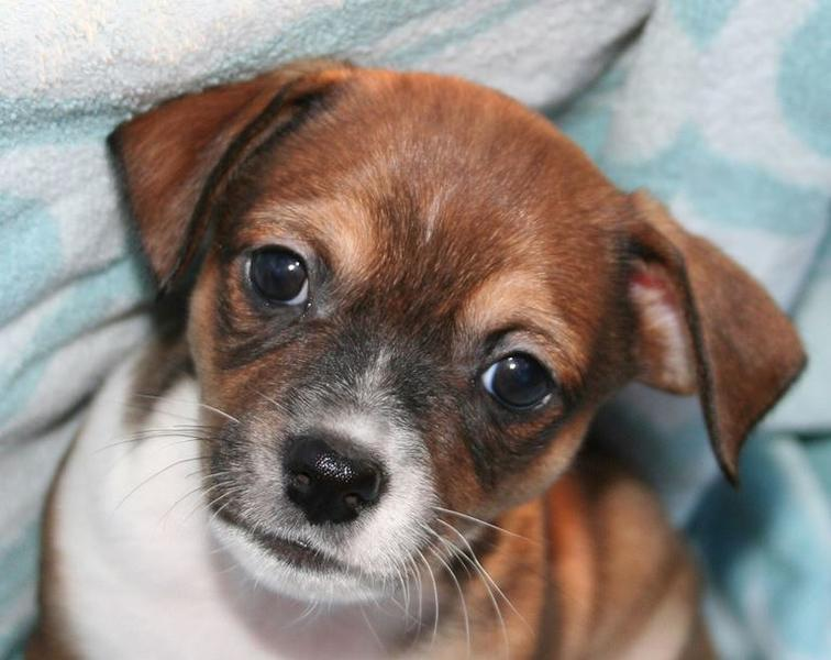 Close up picture of small cute puppy rat terrier looking straight to the camera.JPG