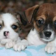 Cute small puppies pictures.JPG