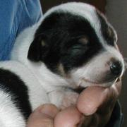 Newborn puppy rat terrier images.JPG