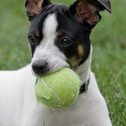 Playful puppy picture of Rat terrier playing with its tennis ball.JPG