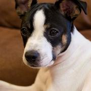 Puppy rat terrier with three toned fur colors.JPG