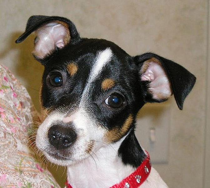Close up picture of rat terrier pup with three tones fur colors.JPG