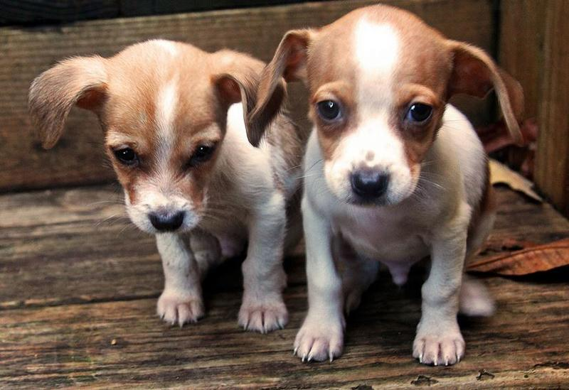 Rat terrier breeders in tan and white.JPG