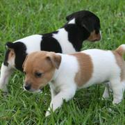 Two puppies rat terrier pictures.JPG