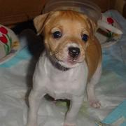 White and tan rat terrier puppy.JPG