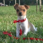 Beautiful little dog breeds picture of rat terrier in tan and white.JPG