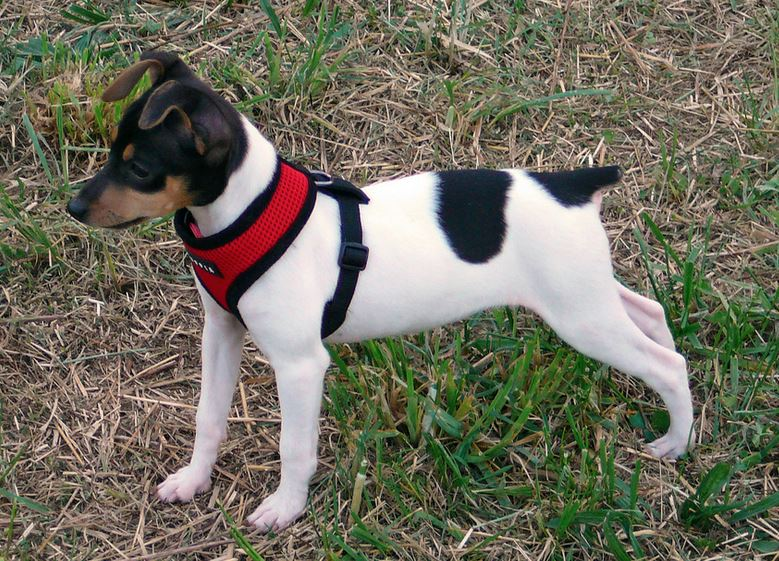 Mixed Rat Terrier on hunting