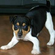 Playful Mixted Rat Terrier puppy