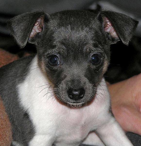 Rat Terrier Puppy Face Picture