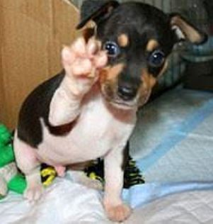 Super Cute puppy picture of Mixed Rat Terrier dog