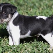Adprable rat terrier puppy playing on the grass