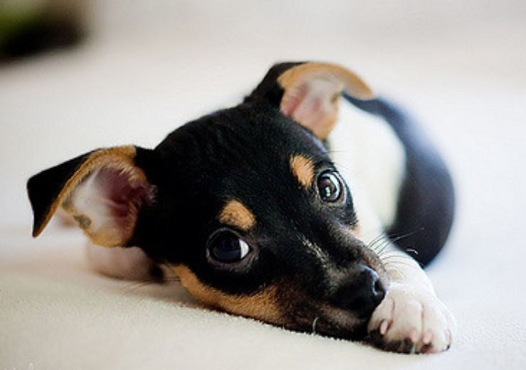 Beautiful puppy picture of a cute mixed rat terrier pup