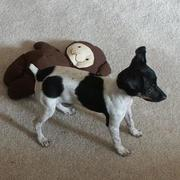 Cutre rat terrier puppy picture playing