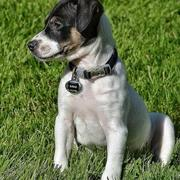 Jack Russell and Rat Terrier mixed puppy photo
