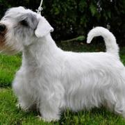 Beutiful dog picture of Sealyham Terrier Puppy