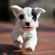 Adorable puppy picture of Sealyham Terrier Pup
