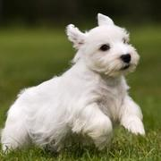 Sealyham Terrier Puppy with short legs and beautiful white coat