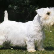 Short legs dogs picture of Sealyham Terrier Puppy