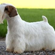 Unique looking dog picture of Sealyham Terrier with long