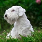 White Sealyham Terrier dog