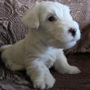 Young Sealyham Terrier Puppy