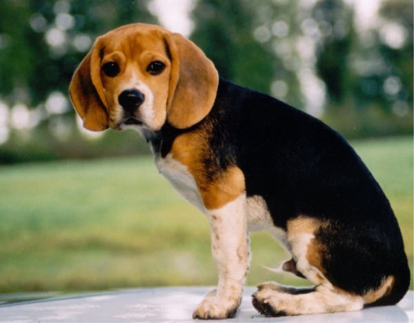 beagle_big pup.jpg