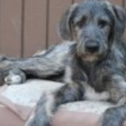 Irish Wolfhound Puppies Pictures