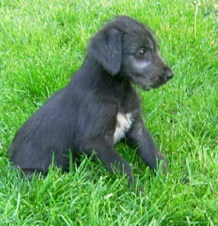 Black Irish Wolfhound Puppy Images Png