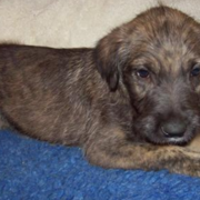 Brown Irish Wolfhound puppy photo.PNG