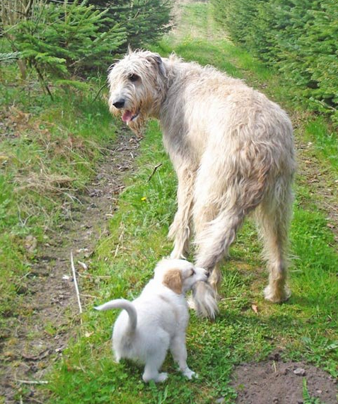 Cream color Irish Wolfhound dog pictures.PNG