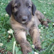 Cute dog picture of Irish Wolfhound puppy laying on the grass.PNG