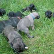 Grey black Irish Wolfhound puppies playing on the grass.PNG